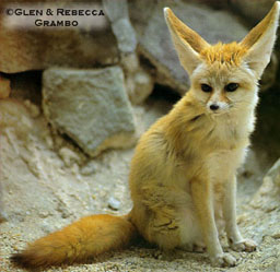 File:Fennec picture.jpg