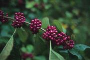 5berry