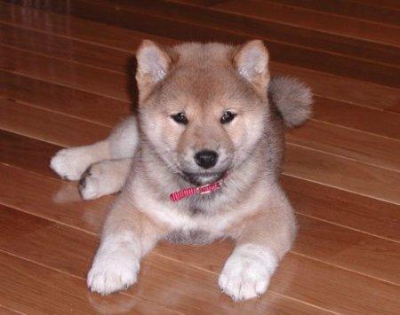 File:Shiba inu puppy.jpg