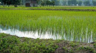 Centauri Princess Rice Fields