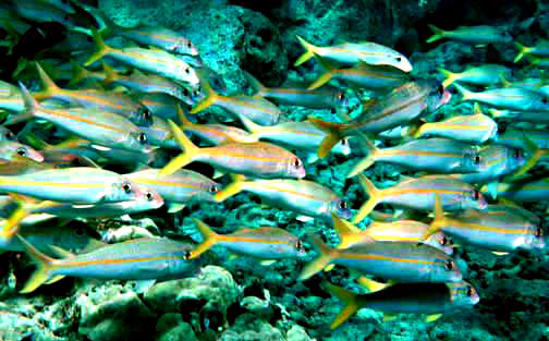 File:Yellowfin goatfish.jpg