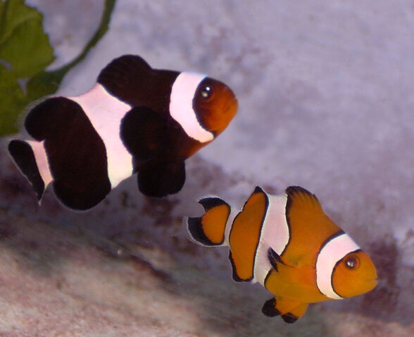 File:Amphiprion ocellaris.jpg