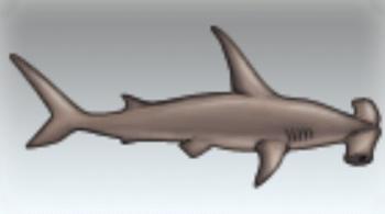 File:Hammerhead Shark.jpg