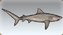 File:Tiger Shark.jpg