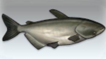 File:Mekong Catfish.jpg