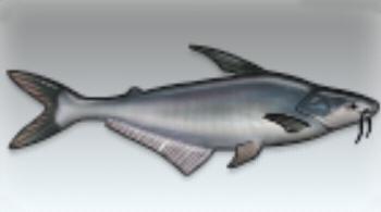File:Striped Catfish.jpg