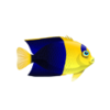 Bicolor Angelfish (1)