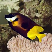Fiji Foxface