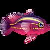 Rainbow Basslet (1)