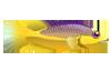 Spanish Hogfish (1)