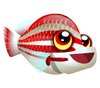 Candystripe Hogfish (baby)