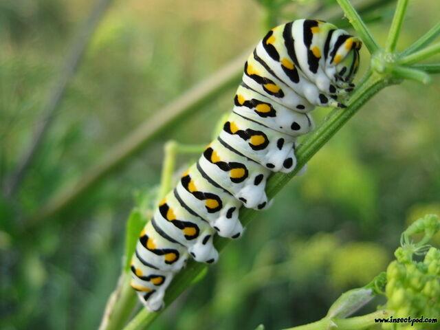 File:Swallowtail caterpillar big.jpeg