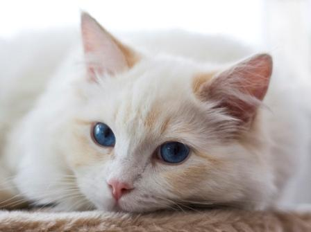 Cream Point Ragdoll Cat