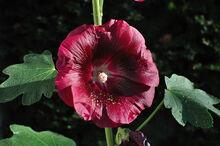 1280px-Alcea rosea L.
