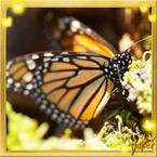 Flutterfact20140224PoisonousMonarch