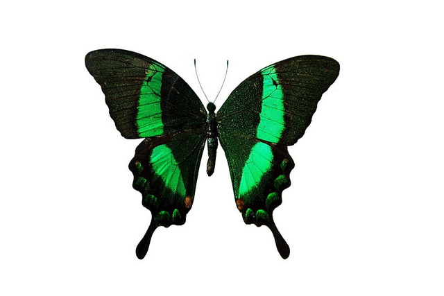 File:19 Emerald Swallowtail.jpg