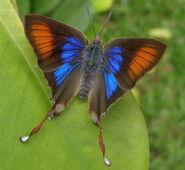33 Fig-Tree Blue