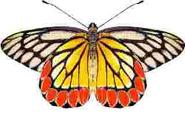 Common Jezabel