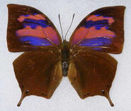 54 Superb Leafwing