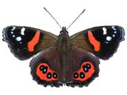 79 Red Admiral