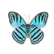 4 Cephus Blue Ringlet