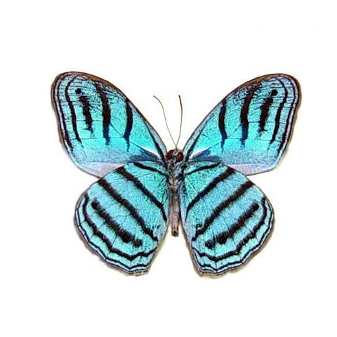 File:4 Cephus Blue Ringlet.jpg