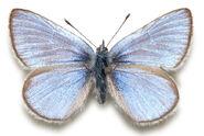 8 Silvery Blue