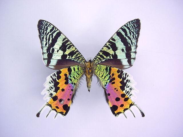 File:49 Sunset Moth.jpg