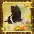 Flutterfact20150119CommonMormonCamouflage