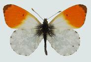 65 Orange Tip