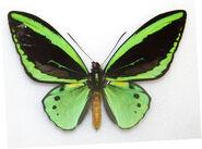 99 Cairns Birdwing