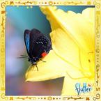 Flutterfact20150630CycadPest
