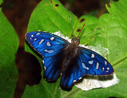 Scorching Sapphire butterfly