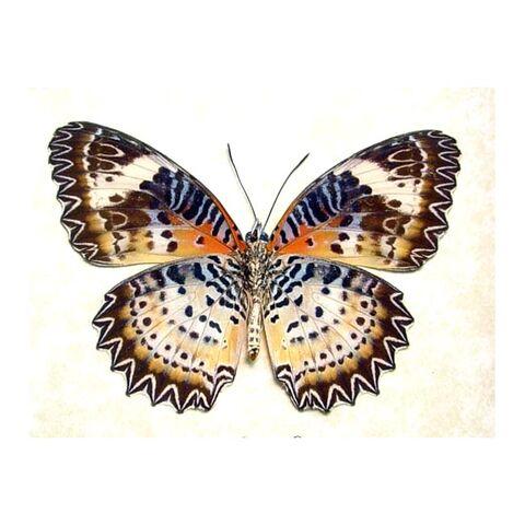 File:10 Leopard Lacewing.jpg