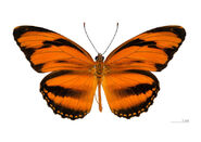 9 Banded Orange