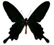 142 Black Swallowtail