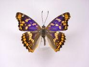 66 Freyer's Purple Emperor