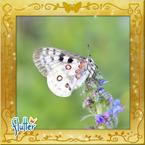 Flutterfact20141227MountainSnowApollo