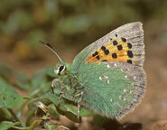 Provence Hairstreak butterfly