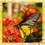 Flutterfact20151125GoldenBirdwing