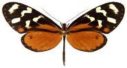 14 Tigerwing