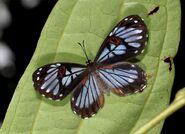 Red-Eyed Underleaf butterfly