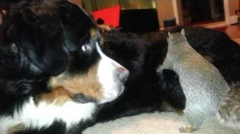 Squirrel hides nuts in a Bernese Mountain dog (as seen on Ridiculousness)