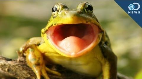 Frog Hears With Its Mouth