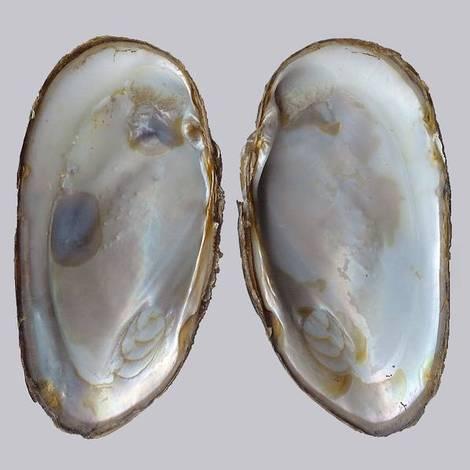 File:Freshwater pearl mussel1.jpg