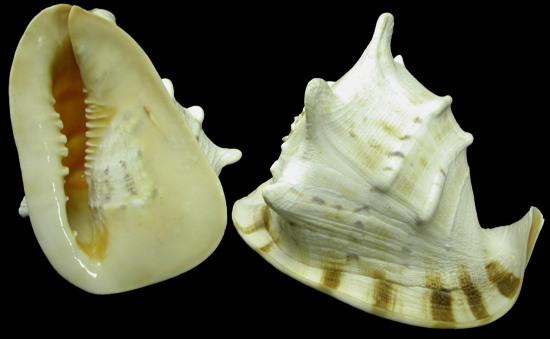 File:Horned helmet shell1.jpg