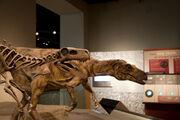 Herrerasaurus exhibit12