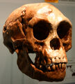 Homo floresiensis.jpg