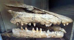 Mosasaurus skull