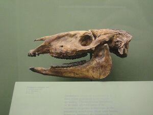 Parahippus Cognatus